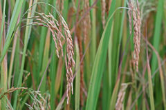 field rice Arkivbild