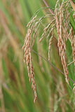 field rice Arkivfoton