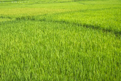 field rice Arkivfoto