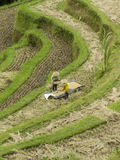 field rice Arkivbild