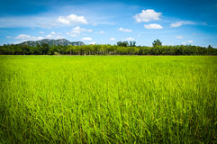 Field rice and blue sky Royalty Free Stock Photo