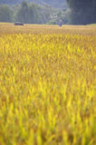 A field of rice in China royalty free stock photo
