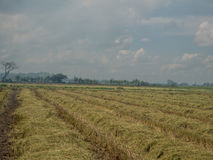 A field of  rice field after harvesting with blue sky Royalty Free Stock Image