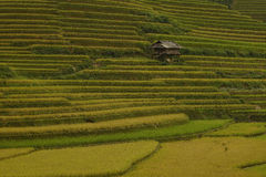 Field of rice Royalty Free Stock Photo