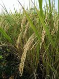 Field rice gold in Thailand Royalty Free Stock Photography