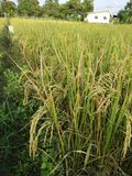 Field rice gold in Thailand Stock Photography