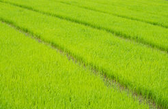 Field rice Royalty Free Stock Photos