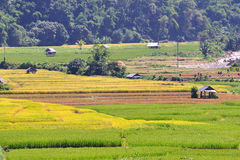 Field rice and hut, good landscape in Thailand. Stock Image