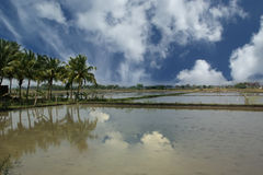 field rice Kerala södra Indien Arkivfoton