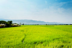 Field rice landscape native of life Stock Photography