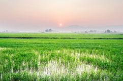 Field rice on morning Royalty Free Stock Image