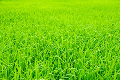 Field rice sprouts in thai country. Stock Photography