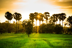 Field of rice Royalty Free Stock Photos