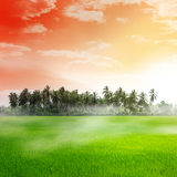 Field of rice and sunset Royalty Free Stock Photos