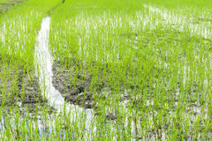 The field of rice. In Thailand Stock Photos