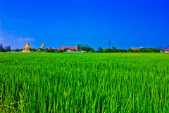 Field. The rice is verdant,  the  sky is blue Stock Photography