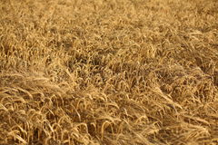 Field of ripe Barley seed Stock Photo