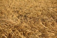Field of ripe Barley seed Stock Photo