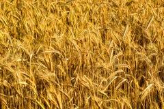 Field of ripe barley Royalty Free Stock Photos