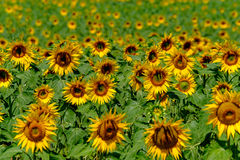 Field of ripe blooming sunflowers Stock Photo