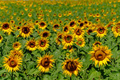 Field of ripe blooming sunflowers Stock Photos