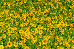 Field of ripe blooming sunflowers Royalty Free Stock Image