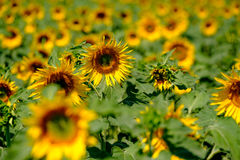 Field of ripe blooming sunflowers Royalty Free Stock Photography