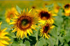 Field of ripe blooming sunflowers Royalty Free Stock Images