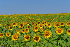 Field of ripe blooming sunflowers Stock Photography