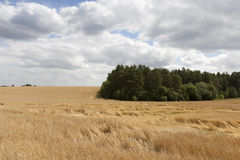 Field of ripe cereal Stock Images