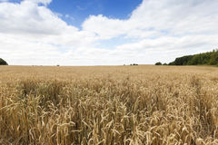Field of ripe cereal Stock Photos