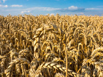 Field with ripe Common wheat Stock Images