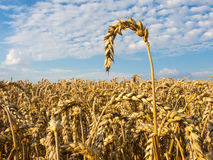 Field with ripe Common wheat Stock Photo