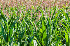 Field of ripe corn Stock Photography