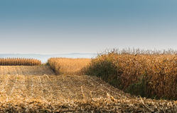 Field with ripe corn stock images