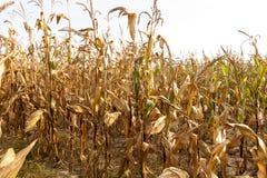 Field of ripe corn Royalty Free Stock Photography