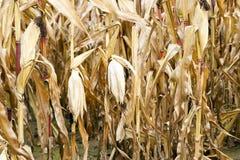 Field of ripe corn Royalty Free Stock Photo