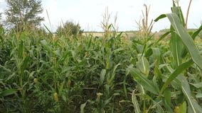 Field With Ripe Corn, The Cultivation Of Crops, Swaying In The Wind. stock video footage