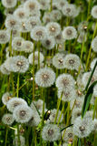 Field of ripe dandelions Stock Photography
