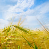 Field with ripe ears of wheat and blue sky Stock Images