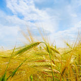 Field with ripe ears of wheat and blue  sky Royalty Free Stock Photo