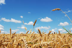 Field of ripe golden wheat Royalty Free Stock Photography