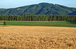 The field is ripe grain Royalty Free Stock Photos