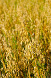 Field of a ripe oat Stock Photos