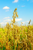 Field of a ripe oat Stock Images