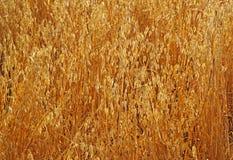 Field of ripe oats sunlit Stock Image