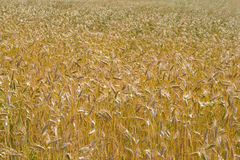 The field of ripe rye Stock Photography