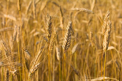 Field with ripe rye Stock Images
