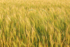 Field of ripe rye. In central Russia Royalty Free Stock Photo