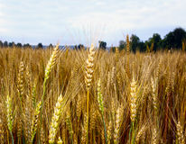 Field of ripe rye Royalty Free Stock Images